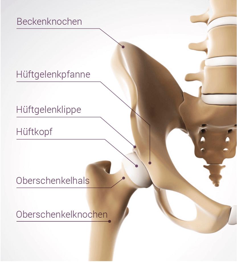 Anatomische Darstellung eines Häftgelenks