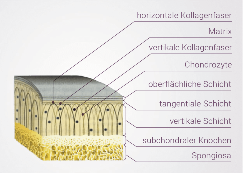Aufbau einer mehrschichtigen Knorpelschicht