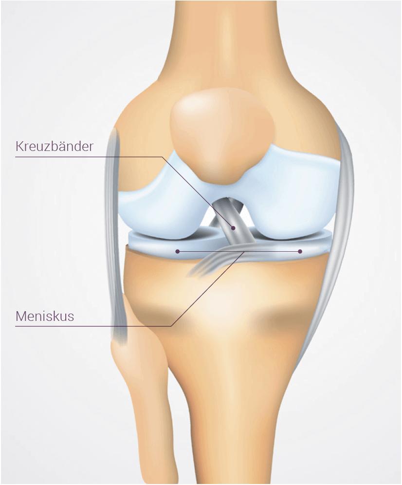 Kniegelenk und Kreuzband