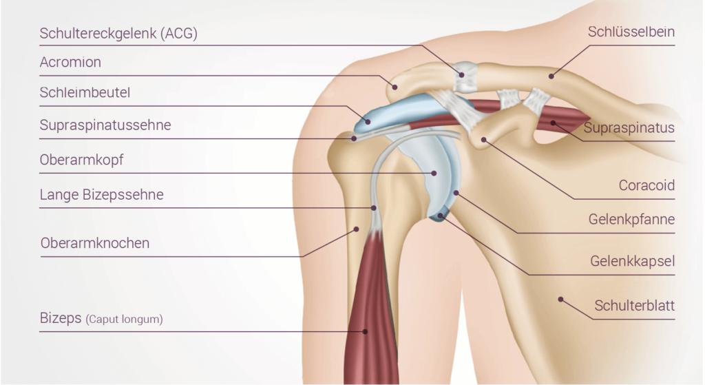 Anatomie eines Schultergelenks