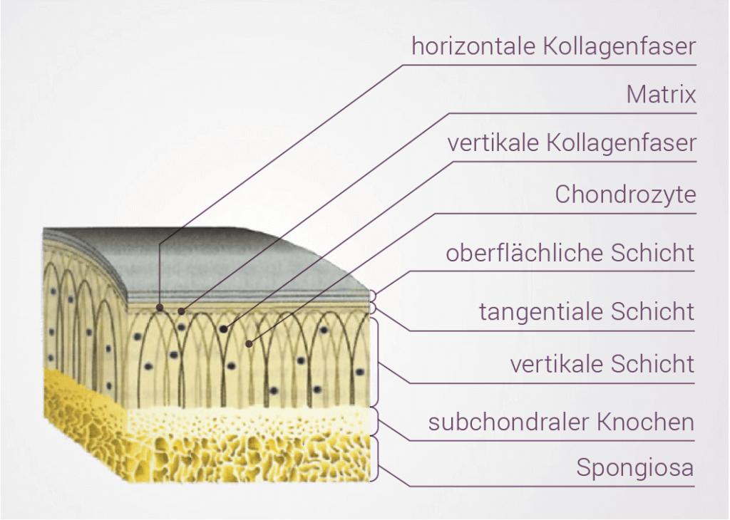 Knorpelschicht